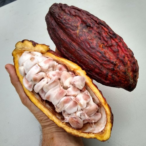 What it's like to eat cacao fruit – Florida Fruit Geek